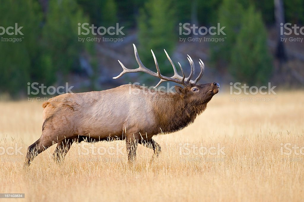 Elk Bull During Autumn Rut royalty-free stock photo