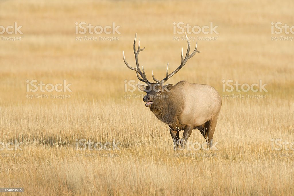 Elk Bull in Rut stock photo
