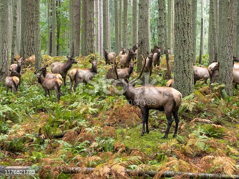 A Bull Elk watching his harem of cows in a rainy forest. Pacific Northwest, USA Creative Brief - Nature and Wildlife. iStock Creative Image  ID: 775225390
