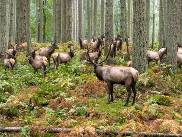 Elk Bull with Cow Harem Forest Trees Ferns Pacific Northwest stock photo