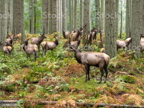 Photo of Elk Bull with Cow Harem Forest Trees Ferns Pacific Northwest