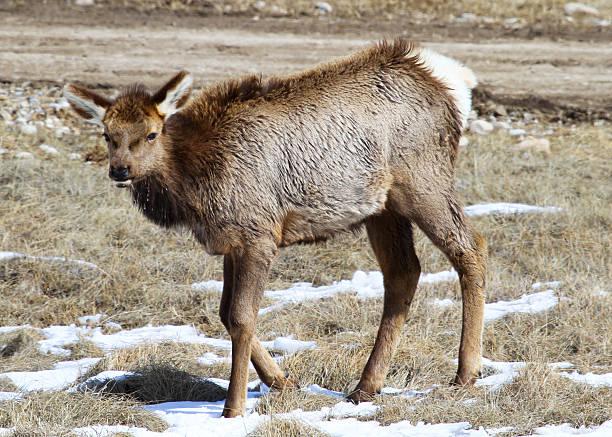 Elk Calf IV stock photo