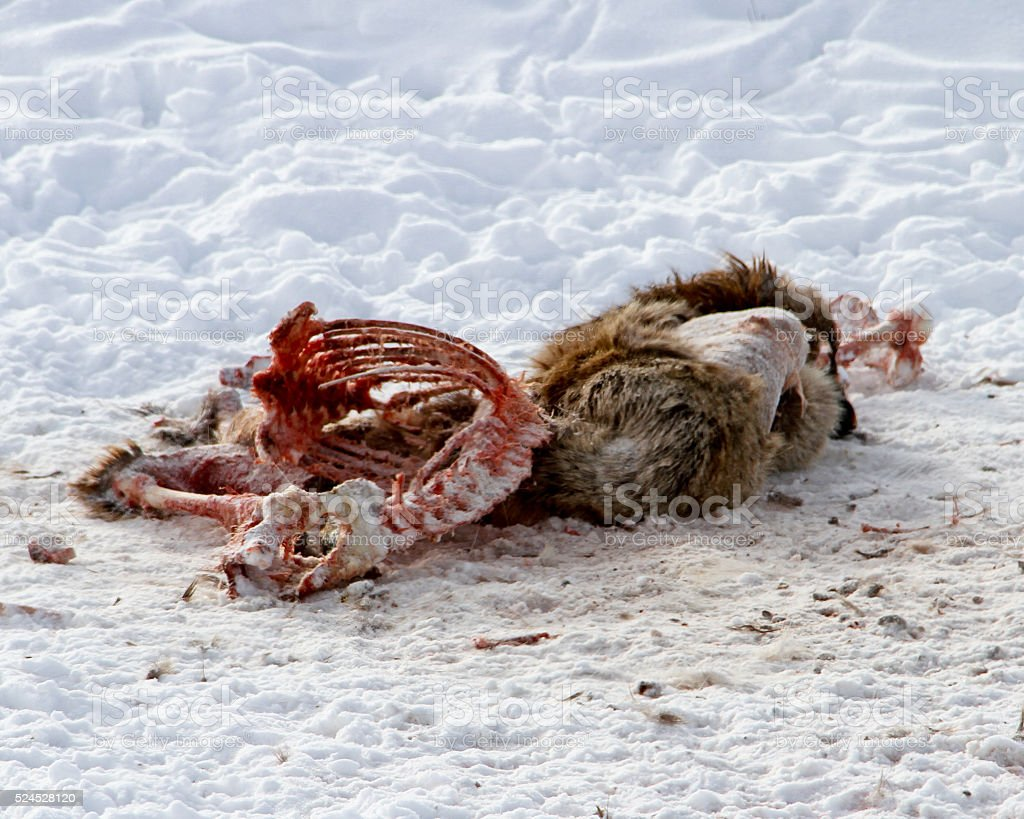Elk Carcass stock photo