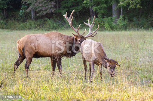 istock Elk Checking Cow 1179871726