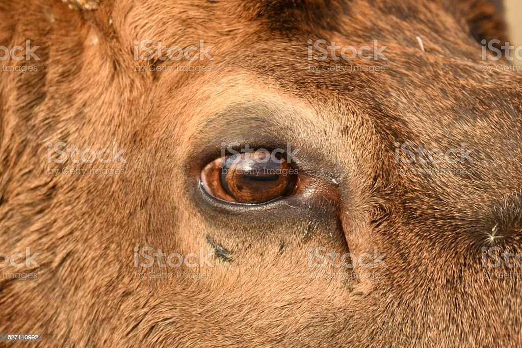 Elk close up stock photo more pictures of animal body part istock elk close up royalty free stock photo publicscrutiny Image collections