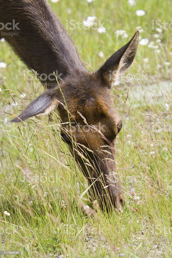 Elk cow eats daisies royalty-free stock photo