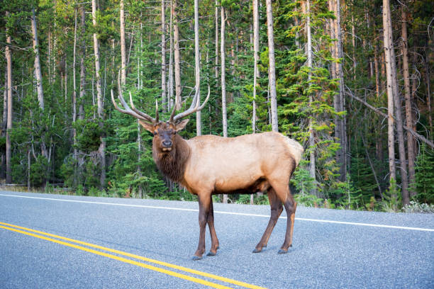 Elk Crossing a Road stock photo