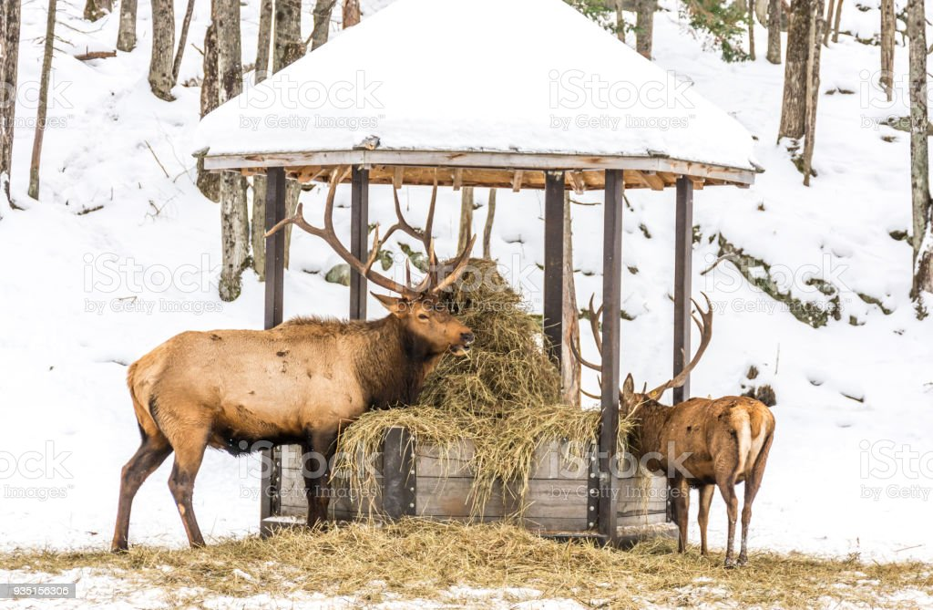Elk Eating Hay With a Youngster at Omega Park, Quebec, Canada stock photo