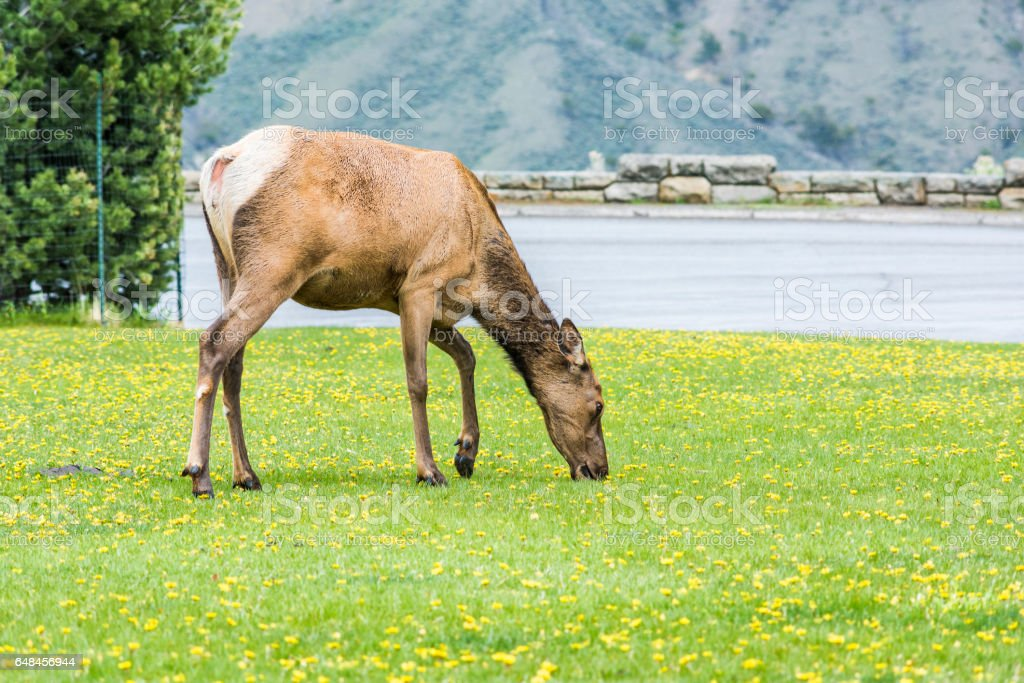Elk eating yellow flowers grazing in Yellowstone National Park stock photo