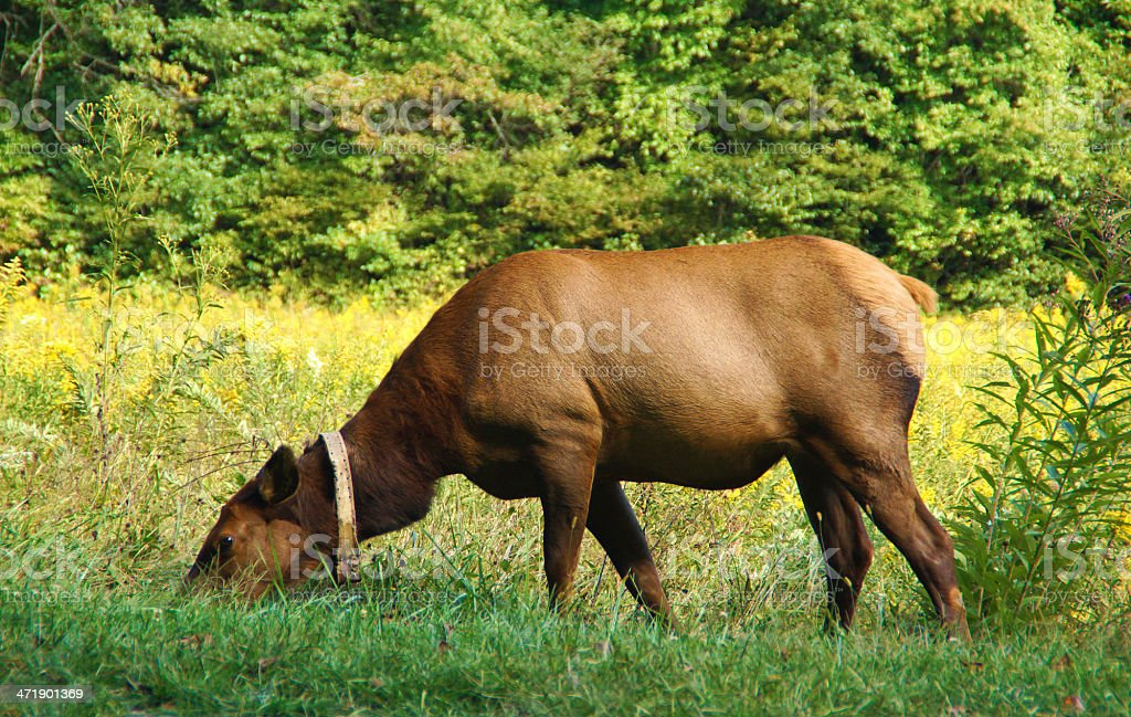 Elk Female in Great Smoky Mountains National Park royalty-free stock photo