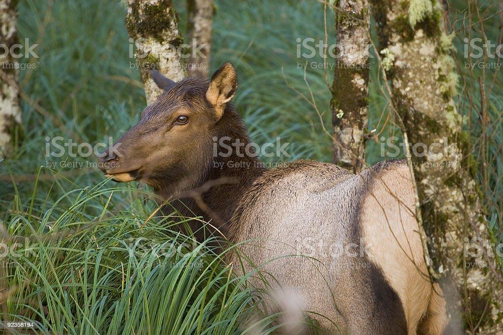 Elk, Fort Stevens stock photo