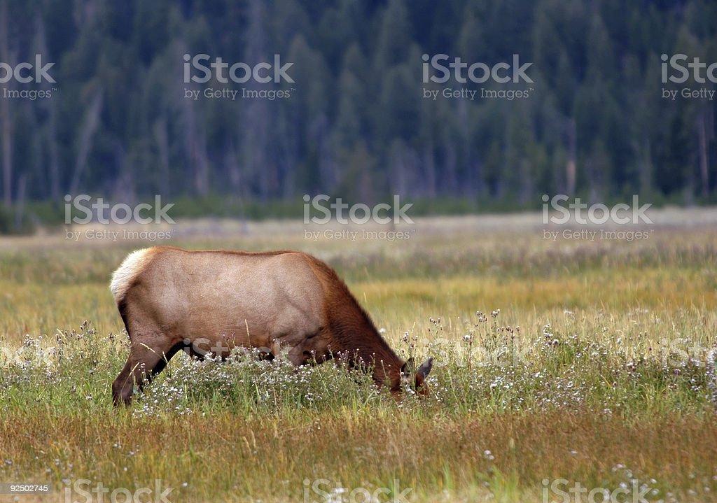 Elk Grazing Amongst Flowers royalty-free stock photo