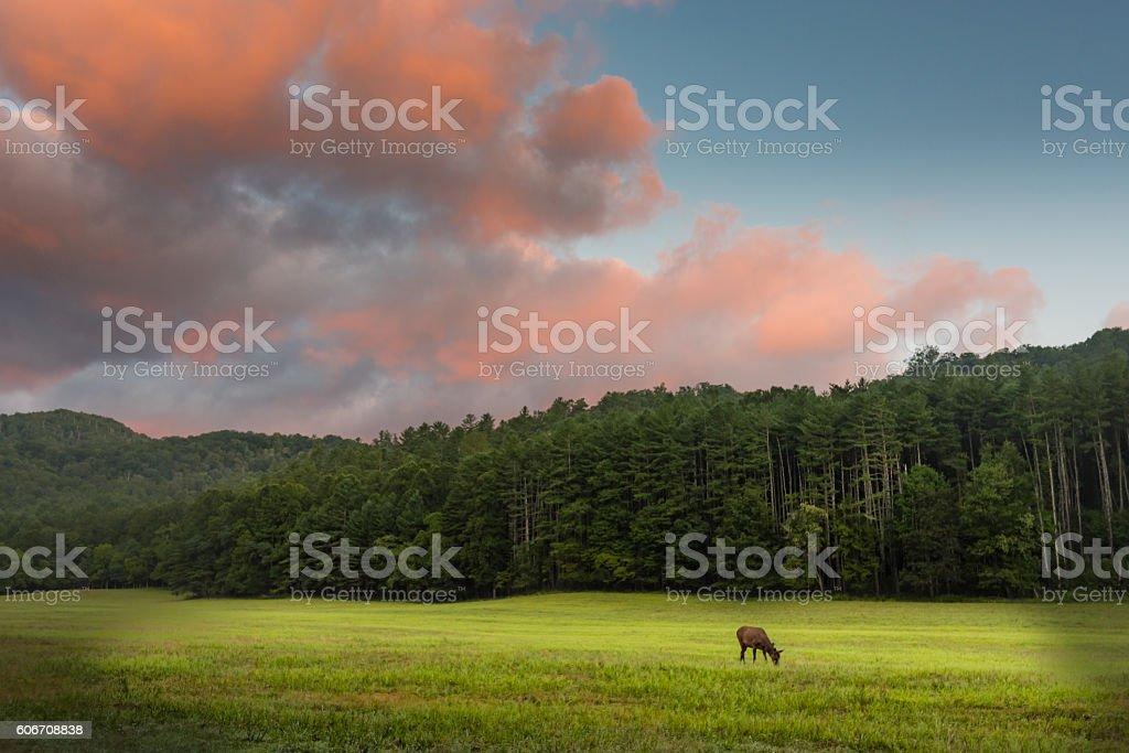 Elk Grazing at Sunrise stock photo