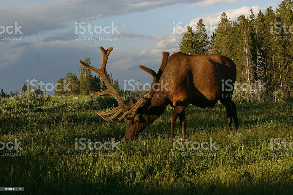 Elk grazing at sunset royalty-free stock photo