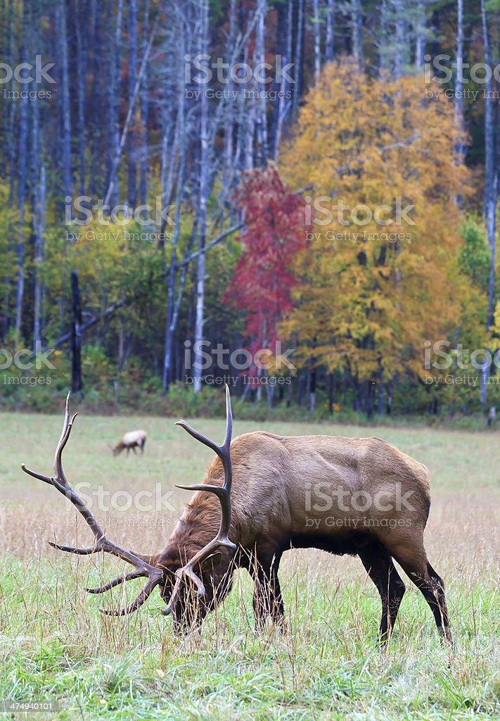 Elk Grazing in the Grass stock photo