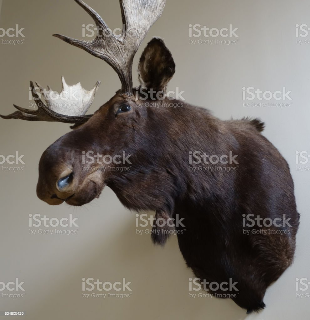 Elk head trophy hung on a wall stock photo