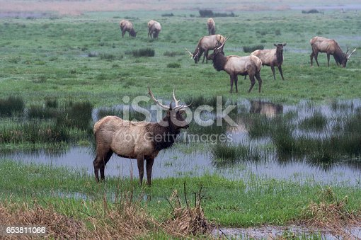 Elk feeding in a flooded field. Near Reedsport on the Oregon Coast. A popular area for tourists. Time of year antlers art ready to fall off and grow new ones.