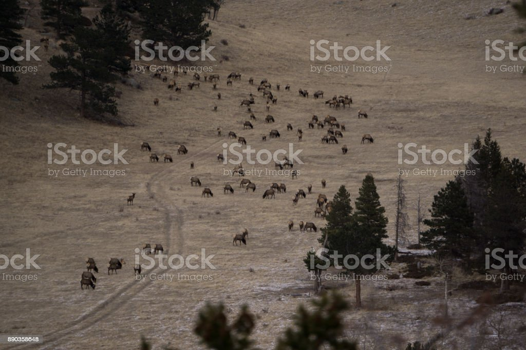Elk Herd in Colorado stock photo