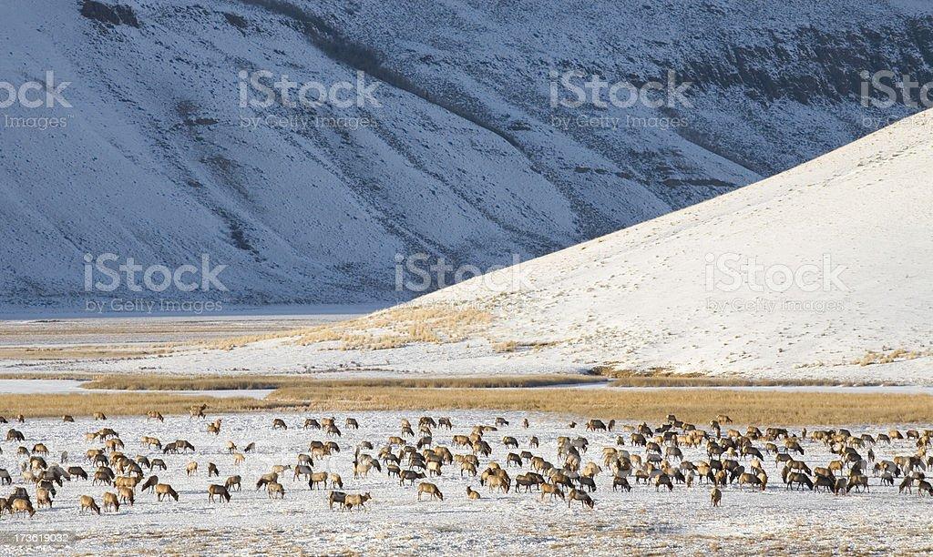 Elk Herd in Winter Valley stock photo