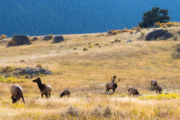 Elk Herd on a Beautiful Rocky Mountain Autumn Evening stock photo