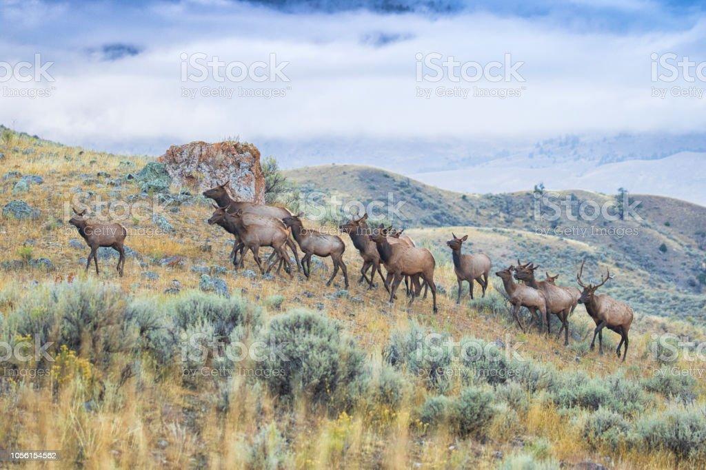 Elk Herd Stock Photo & More Pictures of Animal - iStock