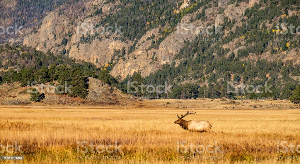 Elk in a field at Rocky Mountain National Park stock photo