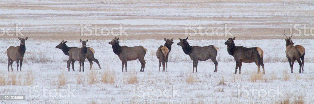 Elk in a line stock photo