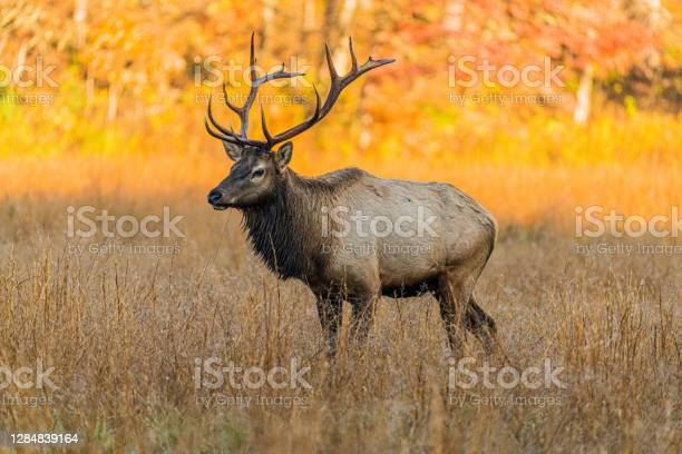 Photo of Elk in a Meadow at the Edge of the Woods