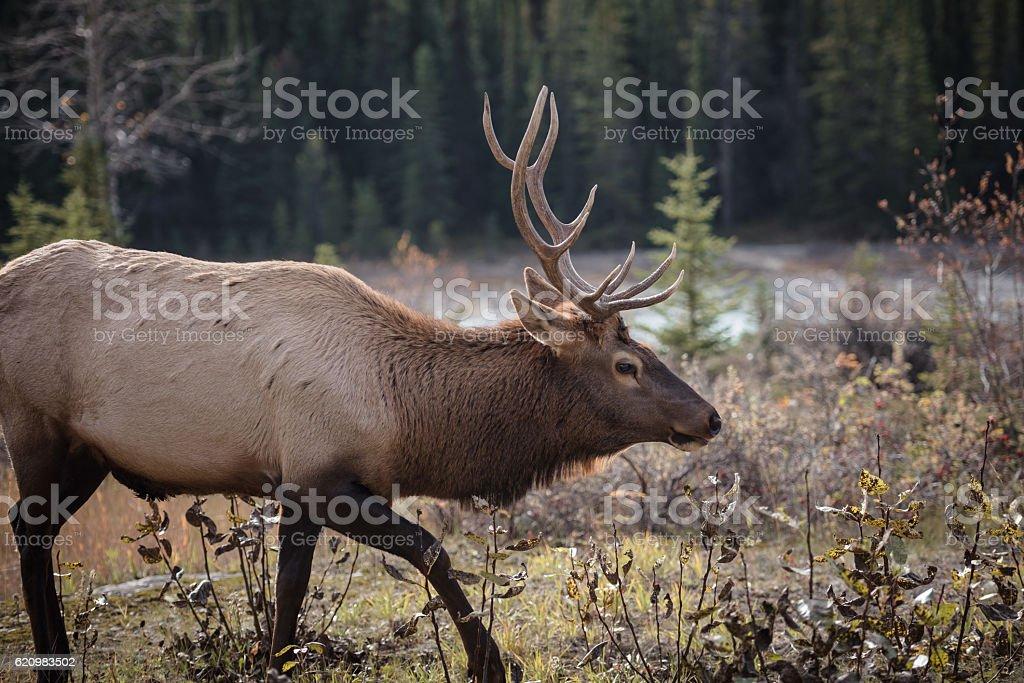Elk in a medow 12 foto royalty-free