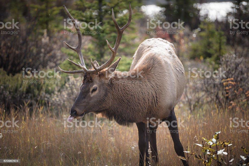 Elk in a medow 5 foto royalty-free