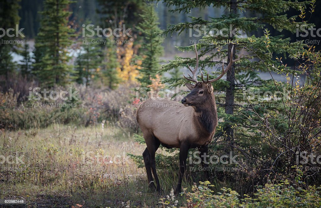 Elk in a medow foto royalty-free