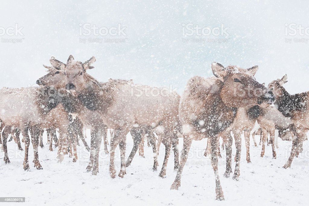 Elk In A Snowstorm stock photo
