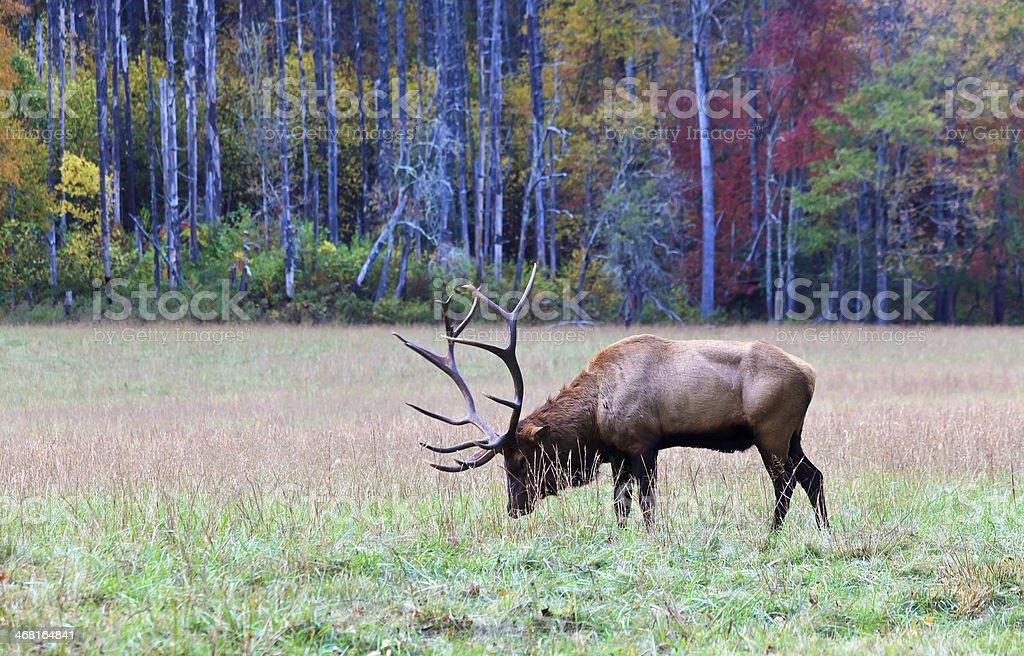 Elk in an Autumn Field royalty-free stock photo