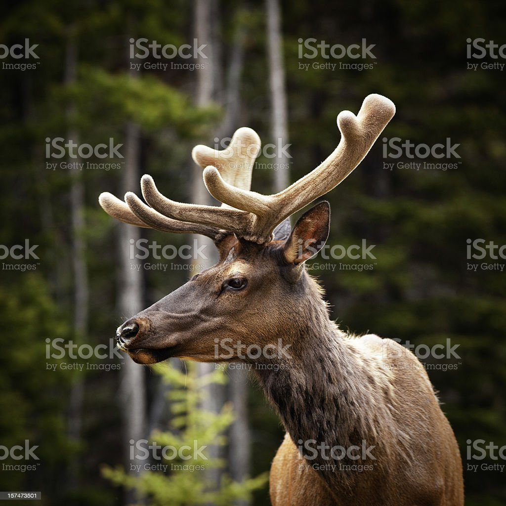 Elk in Banff National Park royalty-free stock photo