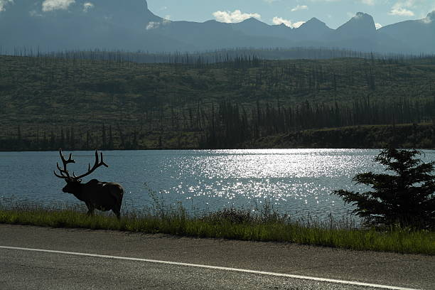 Elk in Canada stock photo