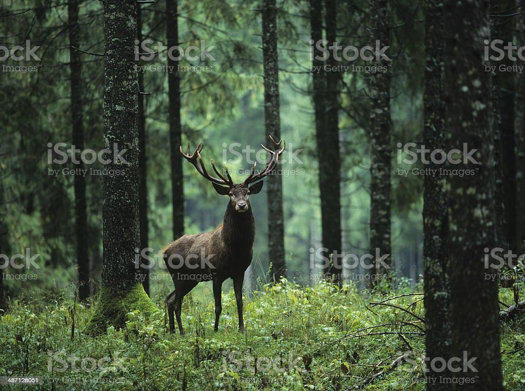 Elk in Forest stock photo