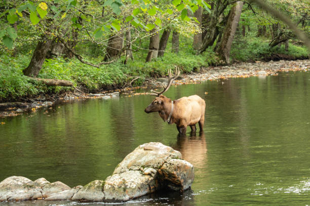 Elk In River Smoky Mountains stock photo