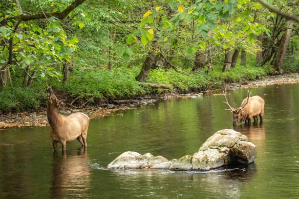 Elk In Smoky Mountains stock photo