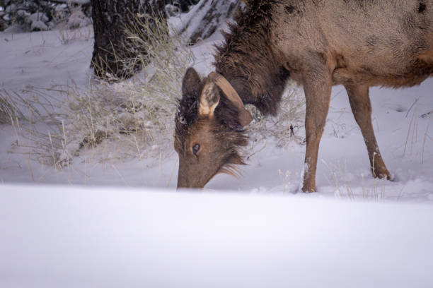 Elk in Snow stock photo