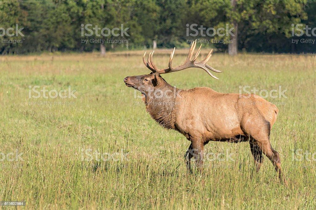 Elk In The Cataloochee Valley stock photo