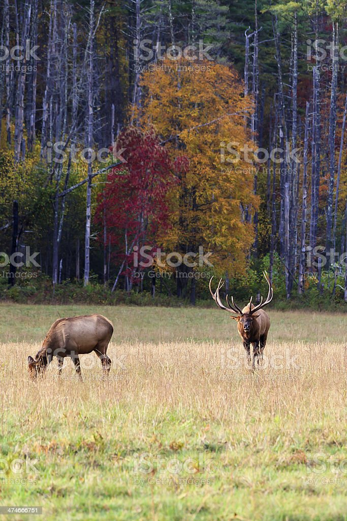 Elk in the Field royalty-free stock photo