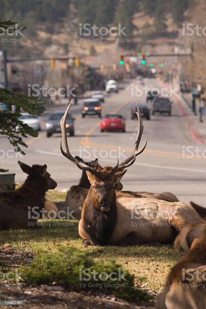 Elk in town stock photo