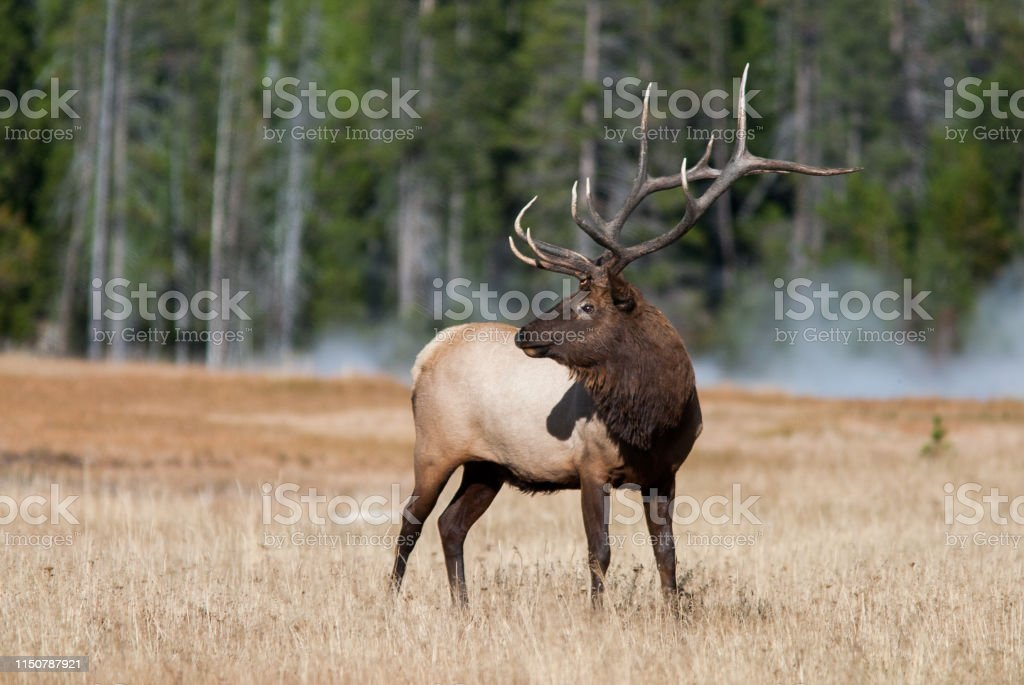 Elk in Yellowstone National Park - Royalty-free Animal Wildlife Stock Photo