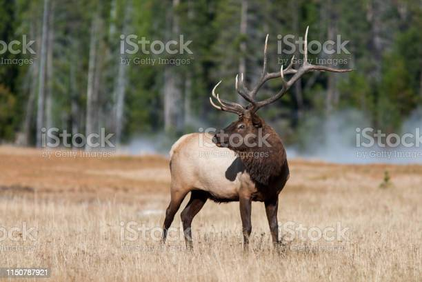 Elk In Yellowstone National Park Stock Photo - Download Image Now