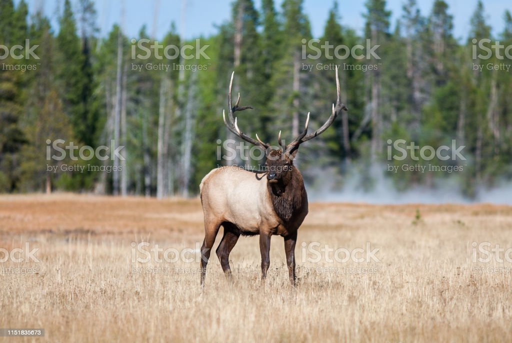 Elk in Yellowstone - Royalty-free Animal Stock Photo