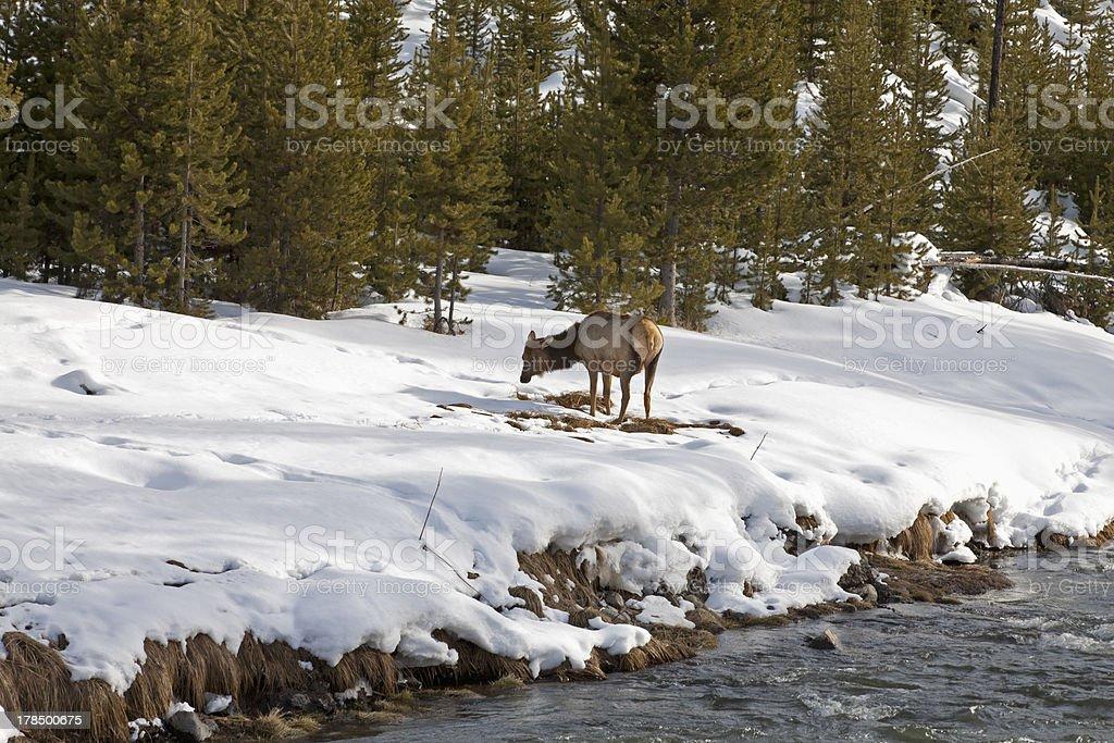 Elk near River, Winter, Yellowstone NP stock photo