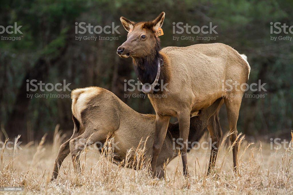 Elk Nursing stock photo
