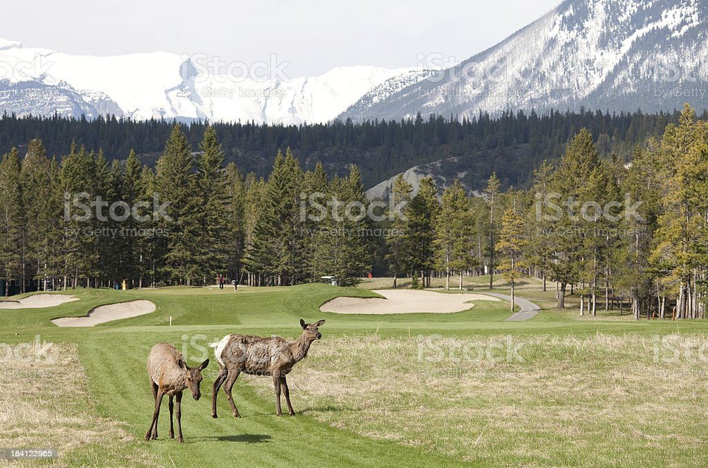 Elk on a Golf Course royalty-free stock photo