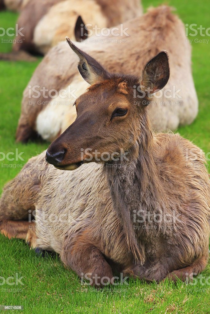 Elk on Grass royalty-free stock photo