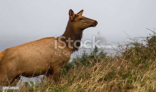Unique since it was taken in Oregon with a lighthouse in the background.  Cow elk coming up a hill.